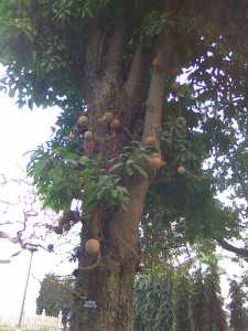 A cannon ball tree with its fruits