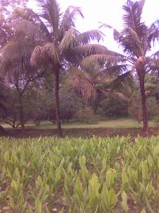 Turmeric fields at the farm