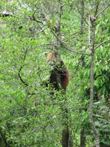 The Red Panda, A picture I took at the Himalayan Zoological Park in Sikkim