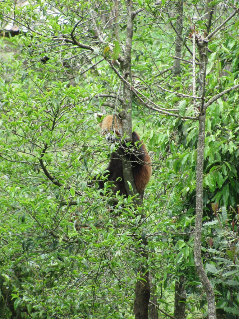 The RED PANDA : it took us about half an hour to spot it inside its large enclosure
