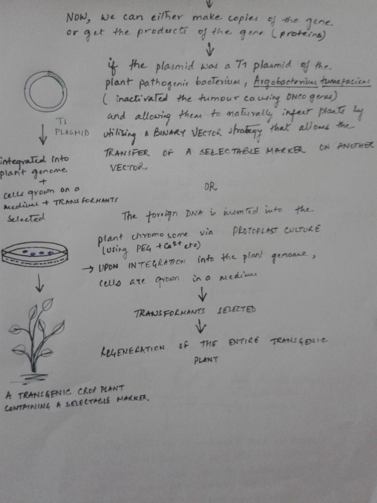 Creating Transgenic Plants