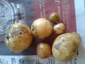 potatoes also feature in the list of teratogens; these are home grown and a couple of them have the greenish tinge marking the presence of glycoalkaloid, solanine